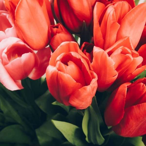 red tulips flower delivery dublin