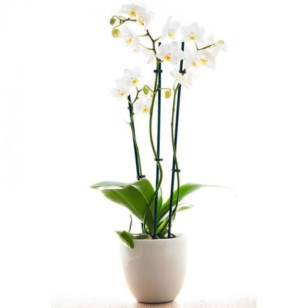 white orchid flower delivery Dublin